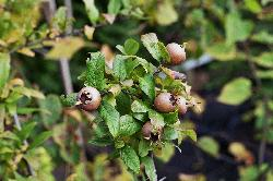 Mespilus_germanica.jpg.thumb